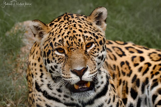 Panthera onca | by Gabriel Paladino Photography