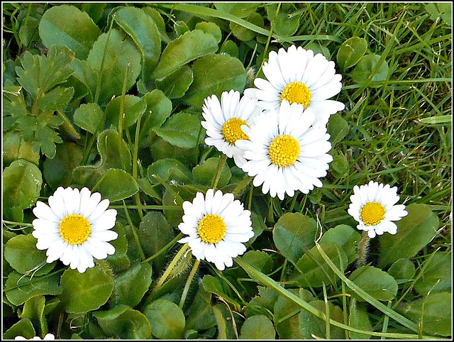 The Common Daisy ..