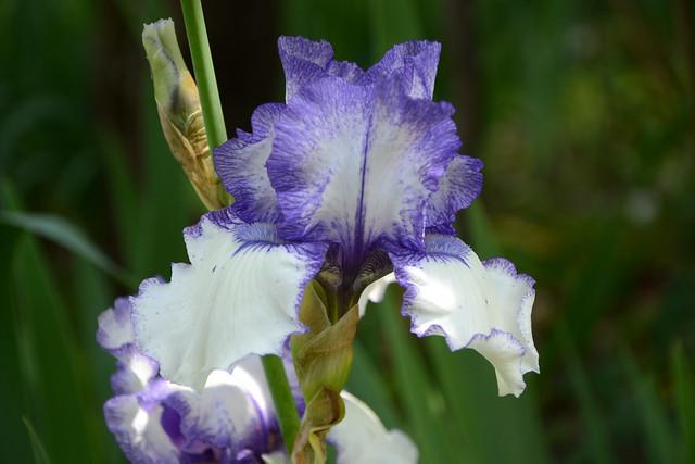 Iris 'Orinoco Flow' - Cy Bartlett 1989 41305957964_dd372503f4_z
