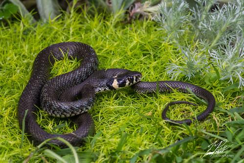 Grass Snake   by Frank Portillo