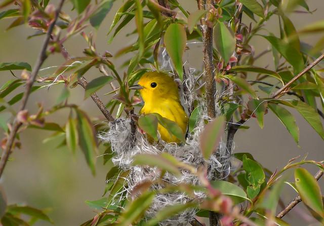Nesting Yellow Warbler