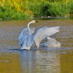 黃嘴天鵝  whooper swan