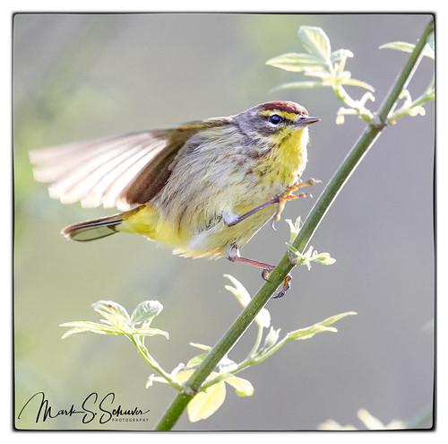 palmwarbler warbler buschgreenway weldonspring stcharlescounty missouri nikon d850 600mmnikkor