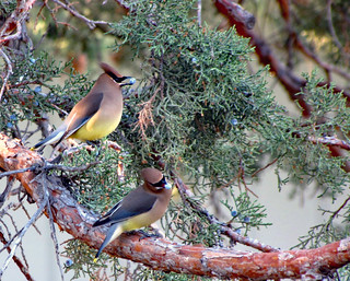 Lucky shot waxwings | by Hiking Central Oregon