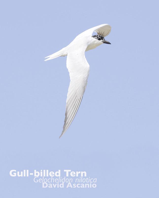 Gull-billed Tern, Gelochelidon nilotica_199A3140