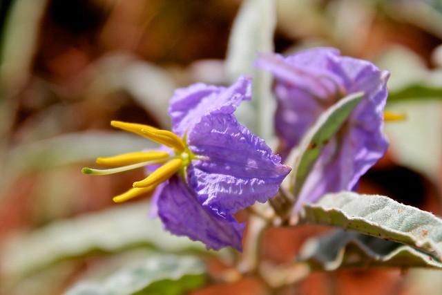 Horsenettle; Silverleaf Nightshade (Solanum elaeagnifolium)
