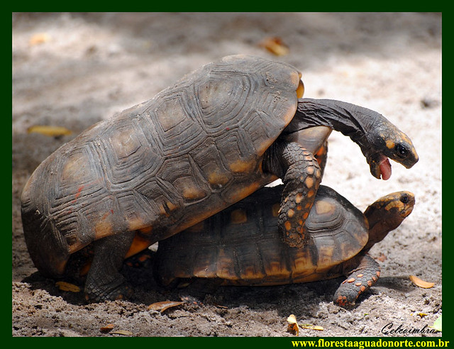Jabuti Tinga Chelonoidis denticulata Testudinidae Tartaruga Bicho Mato Réptil Casco Animais Amazônia Floresta Água Norte Celcoimbra Site Santarém Pará cágado amarelo  Turtle Yellow Foot Tortoise tortuga Turismo 12
