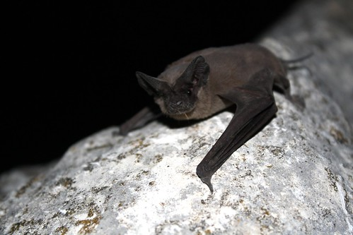 Mexican free-tailed bat | by USFWS Headquarters