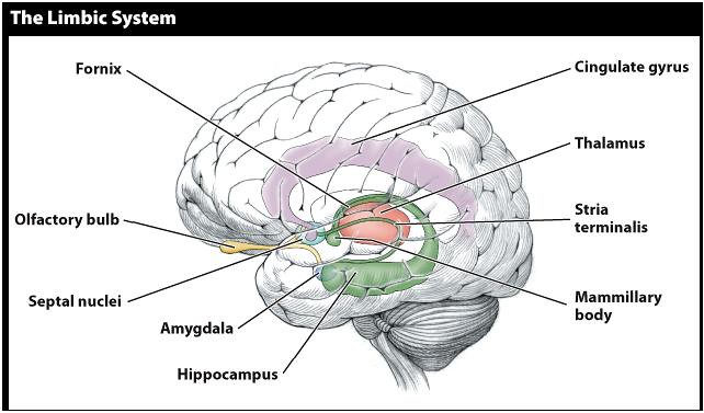 Limbic System Labeled Libby