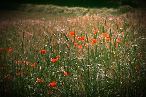 Poppies.   by abarbuc