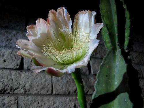 arizona cactus southwest flower detail macro nature beauty closeup delicate onenightstand nightbloomingcactus nightbloomingcereus cereusperuvianus cereusrepandus peruvianapplecactus oneanddone zoniedude1 canonpowershotg11 earthnaturelife