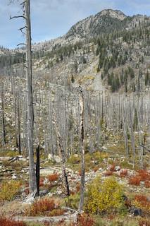 Fiery shrubs among snags