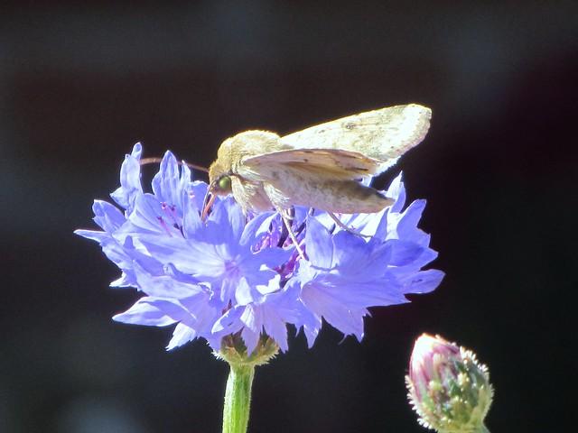 Moth on Bachelor's Button