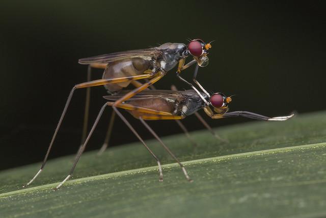 _Z2A1085 mating stilt-legged flies