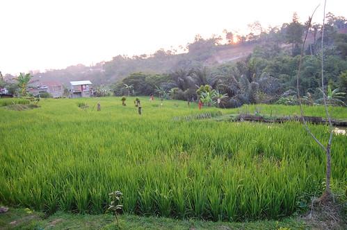 sunset urban paddyfield