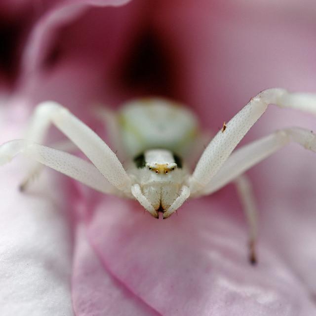 Araignée lynx