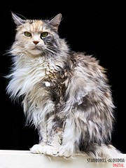 Melenas- Cats Colections
