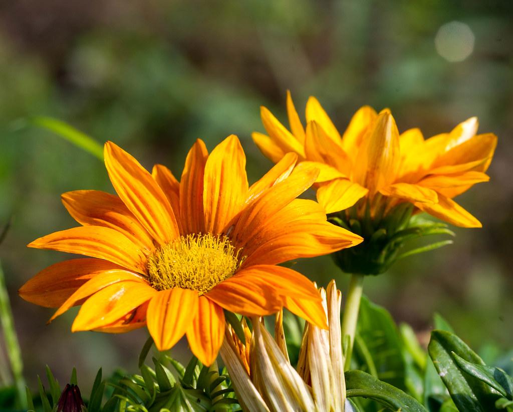 Fiori Arancioni.Orange Flowers Fiori Arancioni Martino Pavese Flickr