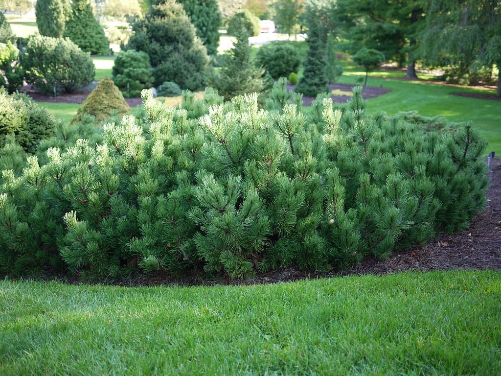 Rezultat iskanja slik za Pinus mugo