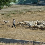 No more figs, but plenty of sheep