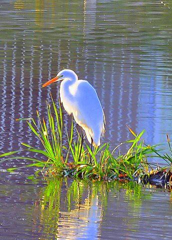 bird wildlife rufoushummingbird damonteranchwetlands freedomtosoarlevel1birdsonly