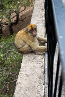 Tailless Barbary Macaques in Gibraltar | by Magic Ketchup