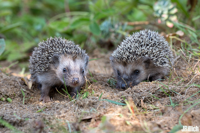 babies - common hedgehog, Igel, Erinaceus europaeus @ Torgau, Zwethau 2016