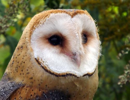 bird nature animals eyes beak feathers raptor owl raindrops raptors barnowl birdsofprey birdofprey