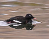White-winged Scoter ( adult, male) by Keith Carlson