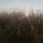 The last maize