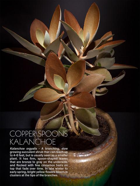 Copper Spoons Kalanchoe