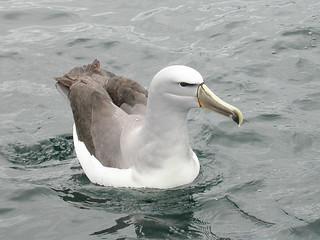 Salvin's Albatross (Thalassarche salvini) | by sussexbirder
