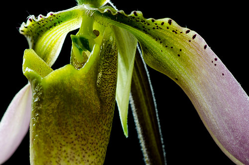 Paphiopedilum appletonianum | by orchidkarma