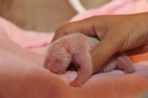 Newborn Panda Cub - Chengdu Panda Base