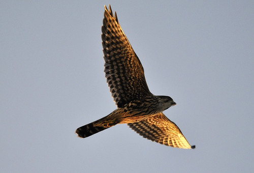 Photo of the Week - Merlin (RI) | by U. S. Fish and Wildlife Service - Northeast Region