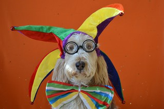 Grand Basset Griffon Vendéen in Costume | by Petful.com