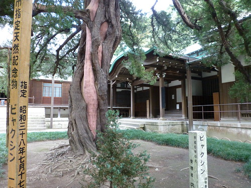 Sat, 27/10/2012 - 14:19 - 円覚寺 - 方丈にあるビャクシンの木