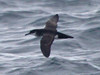 Manx Shearwater, Scilly pelagic, 11-Aug-12 by Dave Appleton