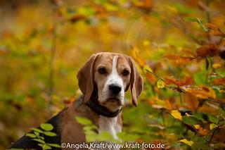 Angela Kraft26102012 Beagle 8 | by Angela Kraft
