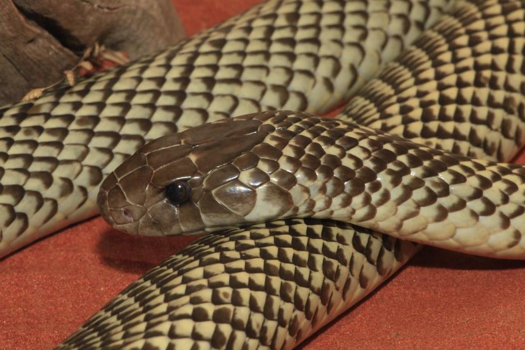 Mulga Snake (Pseudechis australis), Alice Springs Reptile