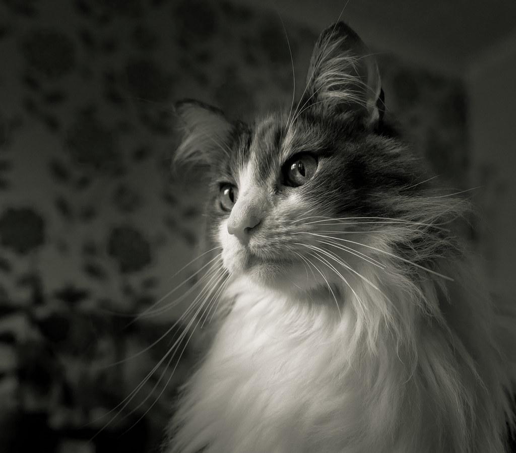 A Cat Portrait (Rosie) (Monochrome Tinted) Panasonic Lumix LX100 (1 of 1)