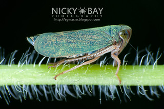 Leafhopper (cf. Trinoridia sp.) - DSC_9948