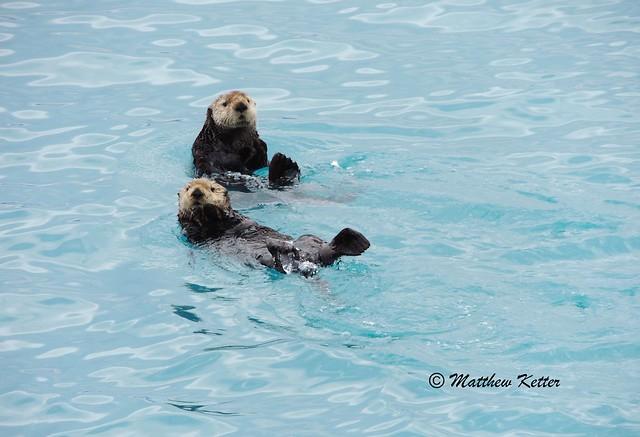 Sea Otters of Prince William Sound Alaska 2