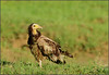 Egyptian Vulture by ....Nishant Shah....