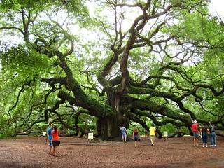 the angel oak tree | by happy via