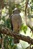 6221 Frances's Sparrowhawk by Cliff Buckton