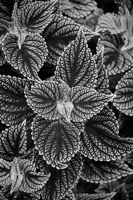 Black and Whites Leaves - 2019