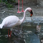 Flamingo im Louisenpark