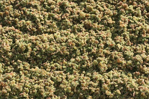 Azolla filiculoides on the River Witham | by Charlie@LincsBeetles