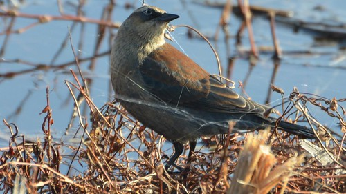 Rusty Blackbird | by Wildreturn